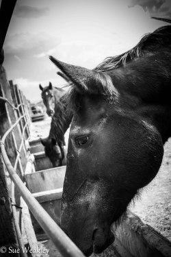 horses eating-1